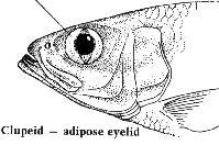 Shad for What fish has eyelids